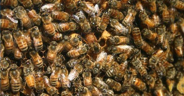 Cómo comprar una abeja reina. Una abeja reina joven y saludable es esencial para establecer o mantener una colmena productiva. Si estás comenzando una colmena o tu vieja abeja reina ha muerto o se marchó con un enjambre, necesitarás comprar una abeja reina. Debido a que la abeja reina es la madre de todas las abejas en la colmena, su material genético determinará la calidad de ...