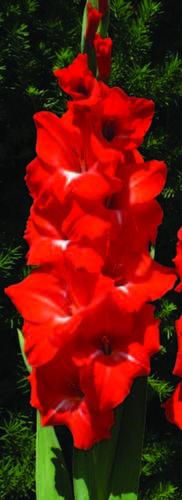 Gladiolus 'Traderhorn'