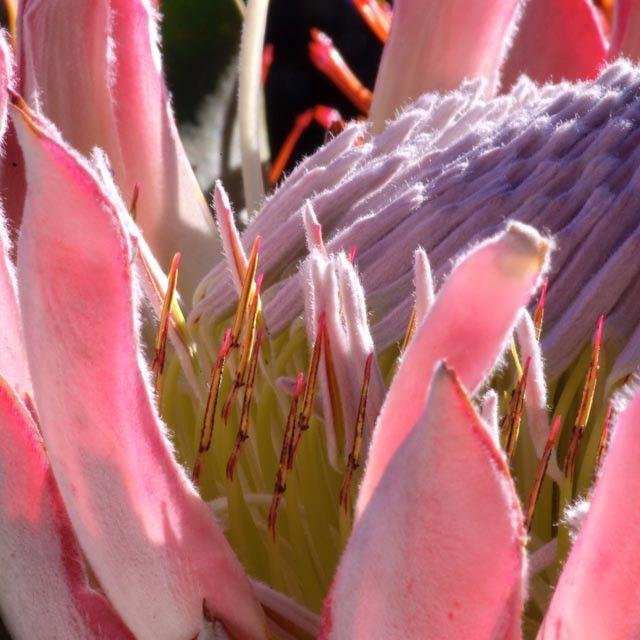 King Protea by Treacy-ann Markham on 500px