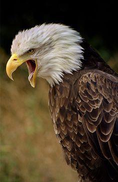 Screaming Eagle - Jim Gintner