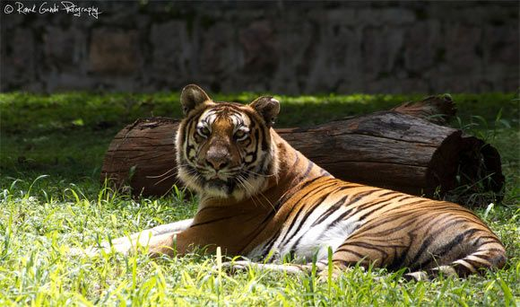 Mysore Zoo (officially the Sri Chamarajendra Zoological Gardens since it is was started by the king) is a 157-acre (64 ha) zoo located near the palace in Mysore, India. It is one of the oldest and most popular zoos in India, and is home to a wide range of species(168-species)