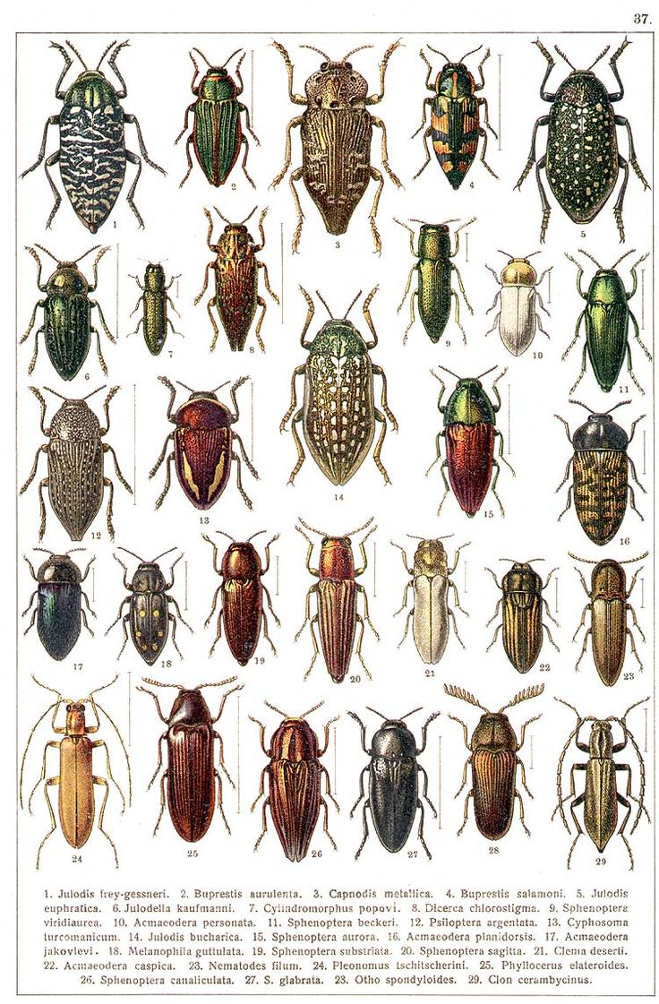 """G.G. Yakobson (1905-1915) - """"Beetles of Russia"""": table 37"""
