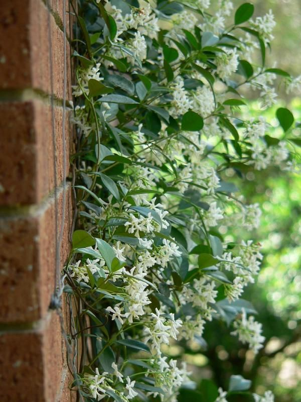 Another option -- evergreen star jasmine.  Smells divine and is easy to train.