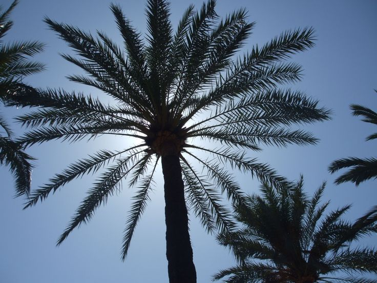 Beautiful palmtree in the middle of Mallorca. Cycling in Mallorca.