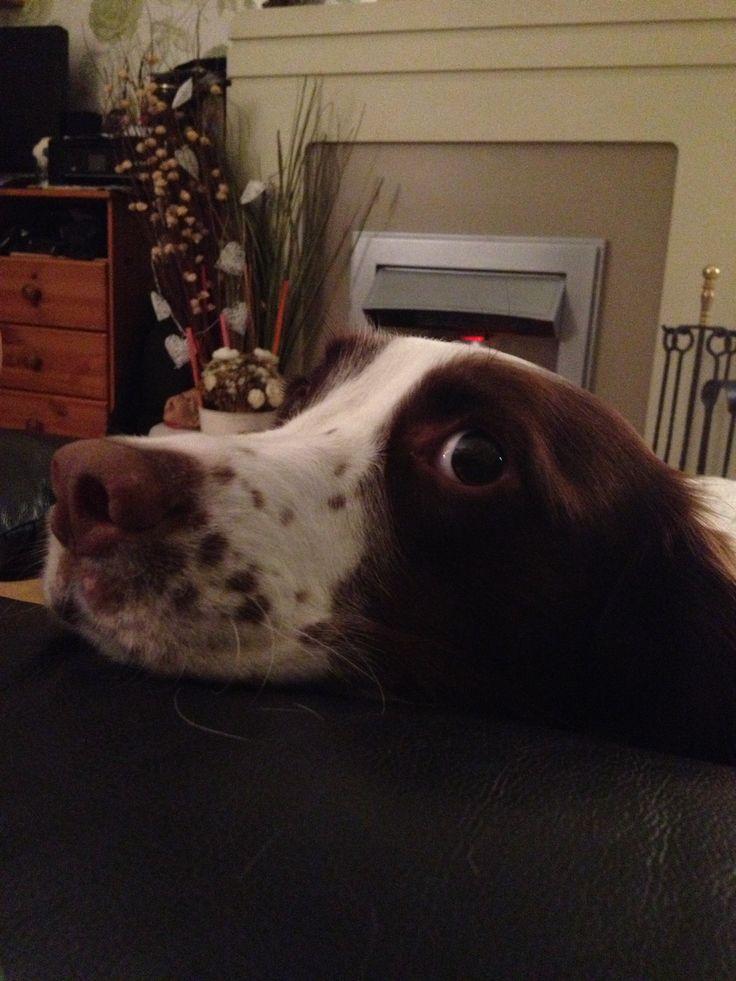 My dog #englishspringer #spaniel