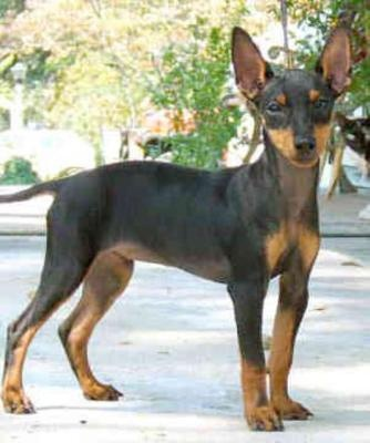 My Mom's dog Emmett is a Manchester Terrier. He's the sweetest.