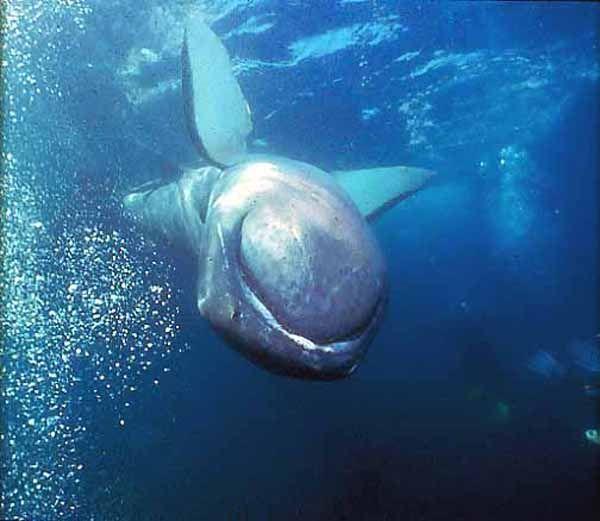25 best ideas about megamouth shark on pinterest big for Deep sea fishing dana point