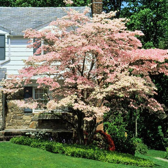 Flowering Dogwood is a spreading tree with horizontal branches that give it winter interest. Size varies with climate; a typical size is 20 to 40 ft tall & wide. The  leaves turn to reddish-purple in fall. The late-spring it flowers . The fruit is glossy red in fall .