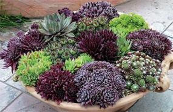 Full Sun Perennial Garden Ideas Photograph Shallow Succule
