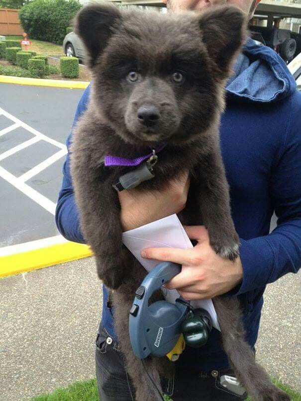 German Shepard, Akita & Corgi mix. This dog is a cute bear cub, but wonder about all the cross breeding & health issues? So many dogs in shelters needing homes, without making more dogs. IMHO! ♡