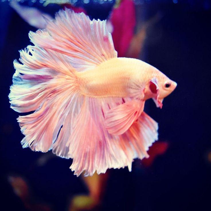 Best 25 betta ideas on pinterest betta fish pretty for What is a betta fish
