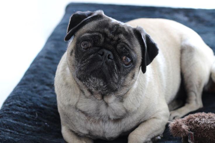 StyleSociety Pugs #pug #pugs #pugloving