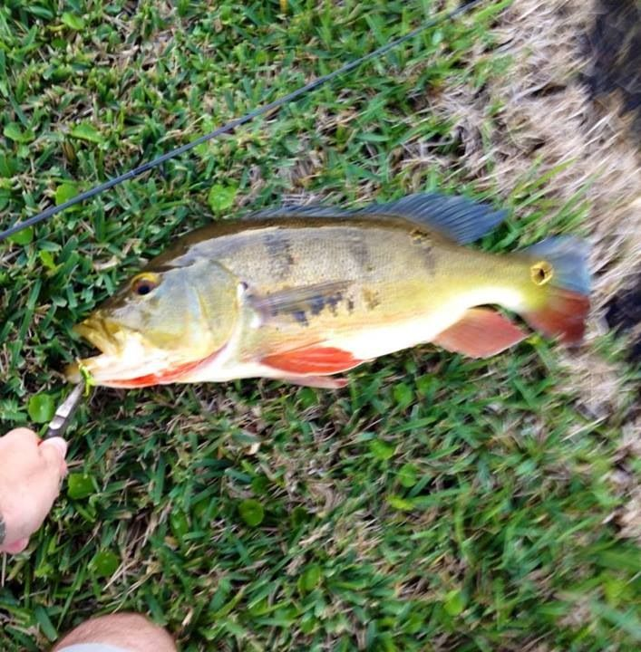 Florida Peacock Bass Caught On A Rooster Tail Spinner