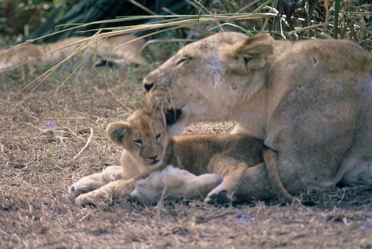 Throwback Thursday: A mother's love in the 1970's made Gorongosa's lions what they are today. Read more about Gorongosa's lions: http://www.gorongosa.org/explore-park/wildlife/lions-gorongosaThanks to Albano Cortez for this photo!