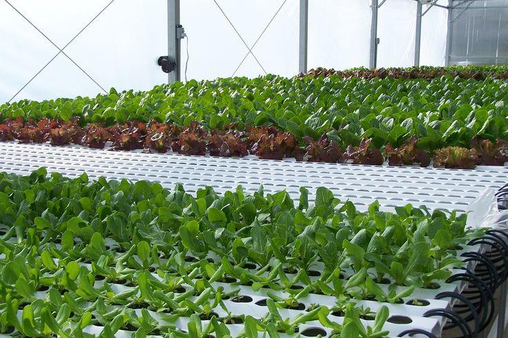 Hydroponic lettuce...