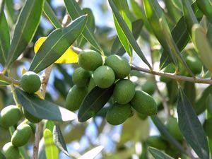 Tipps zum Olivenbaumkauf