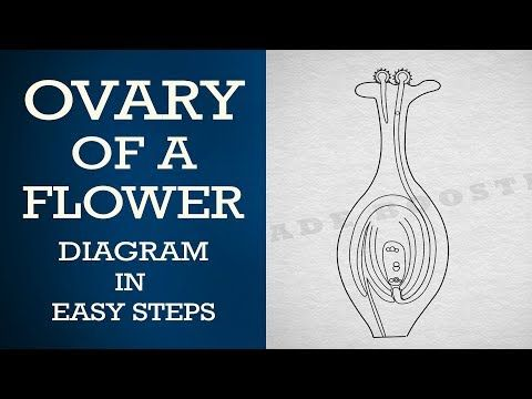 How to draw #ovary of a flower in easy steps : ncert class ...