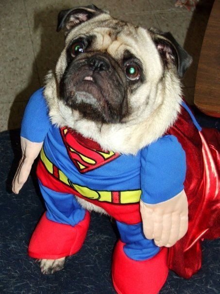 Funny Superman Pug Outfit