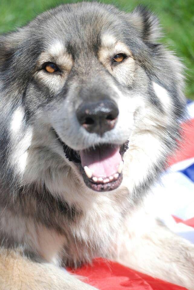 British Timber Dog Northern Inuit Dog American Indian