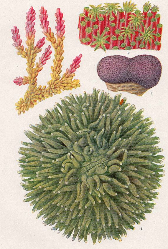 1900 coral original antique sea life print by antiqueprintstore