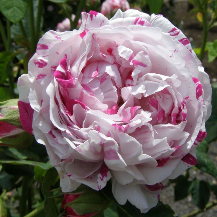 flowers rose and old garden roses The following old roses are favorites of rosarians for fragrance 'alba semiplena' (an alba rose) white, extremely fragrant semidouble blooms plant is disease resistant 6 feet tall, 4 to 5 feet wide.