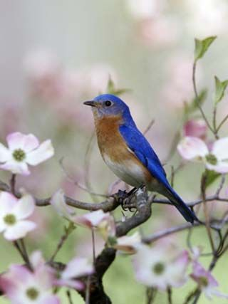 Male Eastern Bluebird in Flowering Dogwood Tree (Sialia Sialis), North America. Missouri State Bird