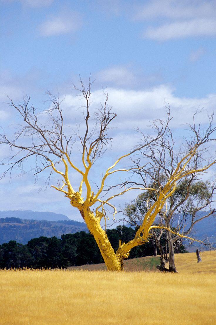 Tasmania, Gold Tree