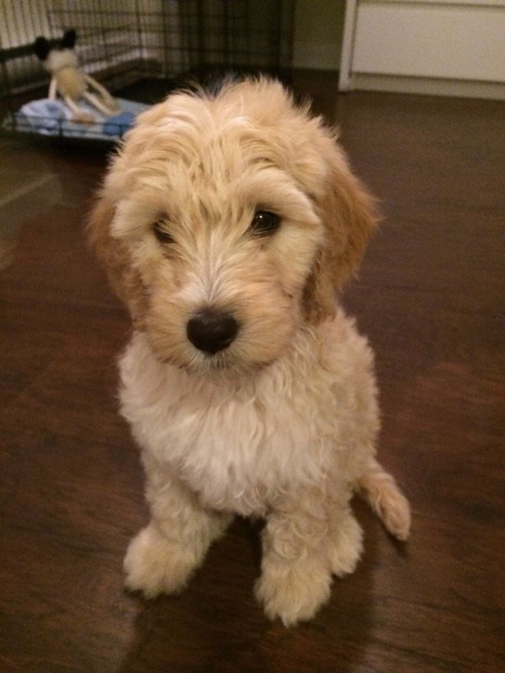 F1b Labradoodle puppy Aiden #labradoodle #puppies #aiden #cute #furry #puppy