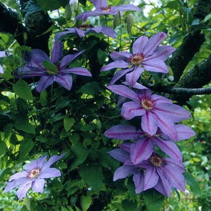 17 best images about clematis on pinterest woking clematis vine and new growth. Black Bedroom Furniture Sets. Home Design Ideas