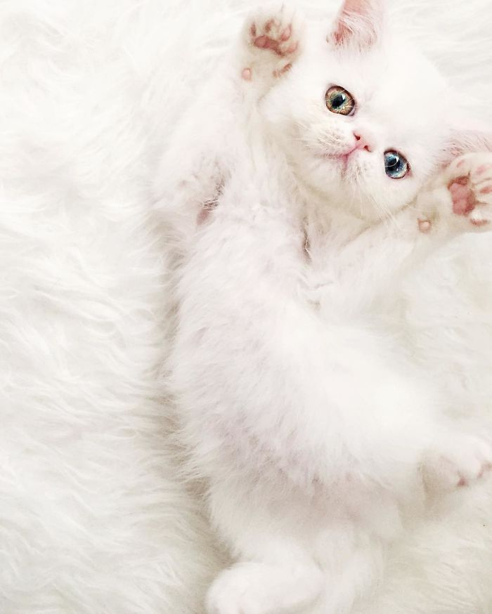 Best Cats Eyes Images On Pinterest Cats Beautiful Cats And - This is pam pam the kitten with heterochromia with hypnotic eyes you just cant stop looking at