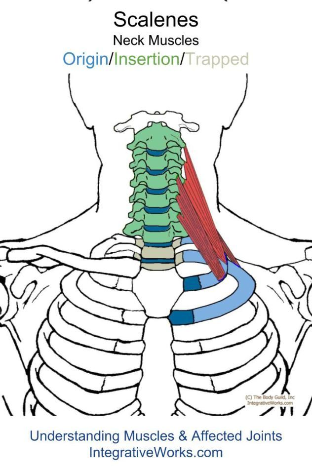 Awesome Trigger Points Pain In The Upper Back Index Finger And Thumb Wiring 101 Eattedownsetwise Assnl