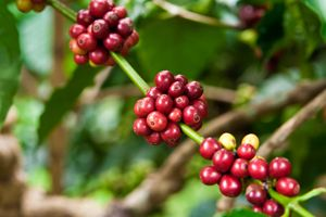 Unusual weather periods in two of the biggest Robusta bean producing countries, Brazil and Vietnam, has led to low production forecasts and subsequently higher prices. Every cloud has a silver lining though as, for the likes of India, this has helped increase exports by up to 20% in order to capitalise. How much that will affect prices is yet to be seen but no doubt will be significant. Potentially good news if you're an Arabica fan! - Alex @ TWELVE