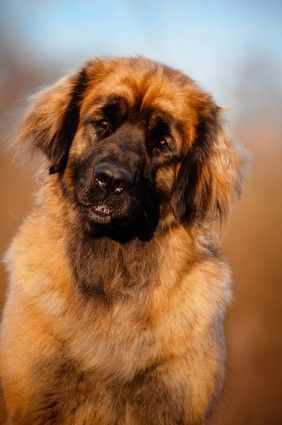 Leonberger Dogs