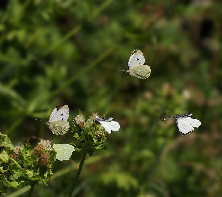 Foto/billede af Stor Kålsommerfugl (Pieris brassicae)Kendetegn: Vingefang: 50-65. Stor sommerfugl. Hannen helt hvid, bortset fra forvingespidsen, som er sort, og en enkelt mørk plet på bagvingens kant. Hunnen er lidt større, og har desuden to mørke pletter på forvingen. Levested: Overalt. Ynder at lægge æg på kål