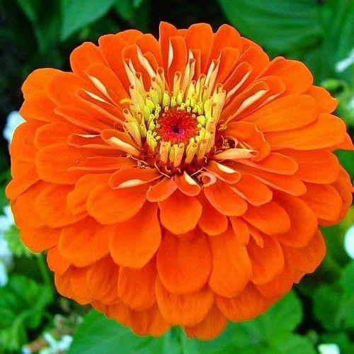 Zinnia Lilliput Orange Flower Seeds (Zinnia Elegans Lilliput Orange) 50+Seeds