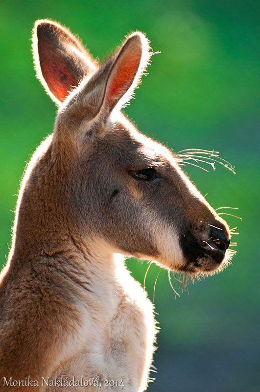 Red Kangaroo Profile by amrodel Source:amrodel.deviantart.com