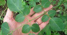 Le Moringa, cet arbre aux puissantes vertus médicinales, aide à traiter 4 types de cancer: des ovaires, des poumons, du foie et de la peau.