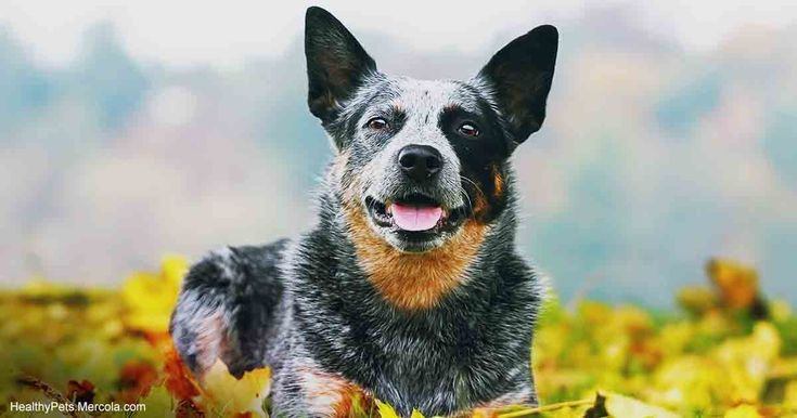Also called a Blue Heeler or Queensland Heeler, Australian cattle dogs are known to be designated leaders and protectors over sheep as well as livestock. https://healthypets.mercola.com/sites/healthypets/archive/2017/12/28/australian-cattle-dog.aspx?utm_source=petsnl&utm_medium=email&utm_content=art1&utm_campaign=20171228Z3&et_cid=DM174794&et_rid=164840818%0A