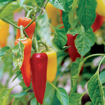 21 best crops for home gardens - Sunset MagazineGardens Ideas, Edible Gardens, Ediblegarden, Plants, Sunsets Magazines, Growing Peppers, Sunsets Com, Crop, Gardens Growing