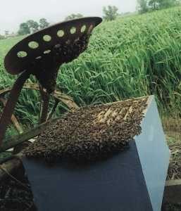 Le piégeage des essaims : quelques procédés pour récupérer les essaims volages