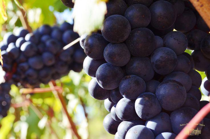 Il uve di Antica Cantina Sant Amico