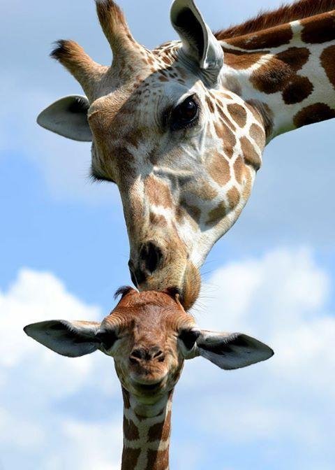 (16) April the giraffe