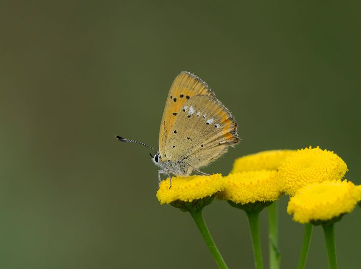 Lycaena virgaureae on tansy - This beautiful small butterfly was attracted by the bright yellow tansy flower