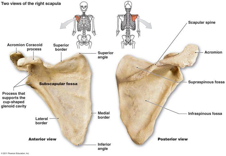 scapula | Pectoral Girdle (4): CLAVICLE -- SCAPULA the shoulder bone