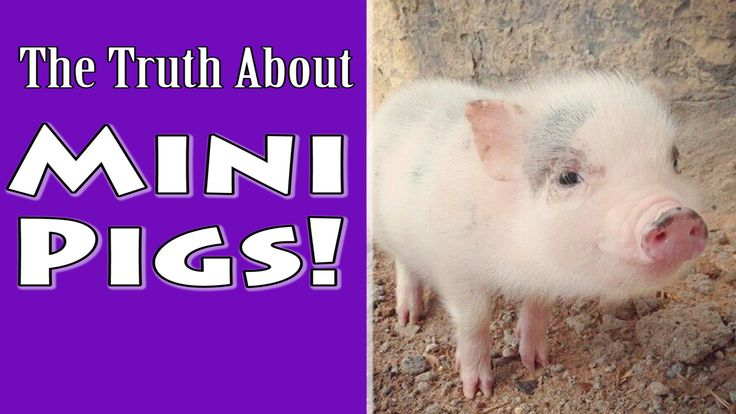 Wanna see a full grown Juliana? Skip to 2:20. It's a mini-pig compared to it's huge farm hog cousin, but still a good-sized pig (although much smaller than a pot belly!)