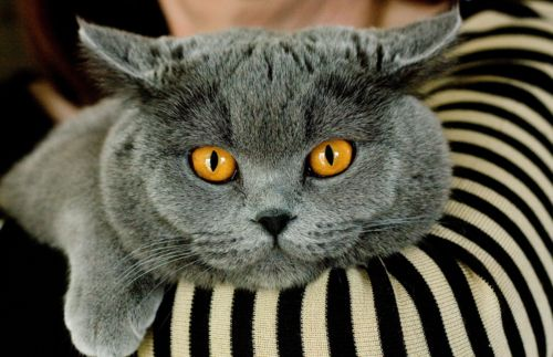 Chartreux   ...........click here to find out more     http://googydog.com