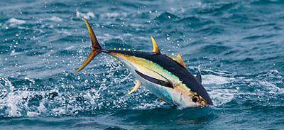 ahi tuna in the ocean