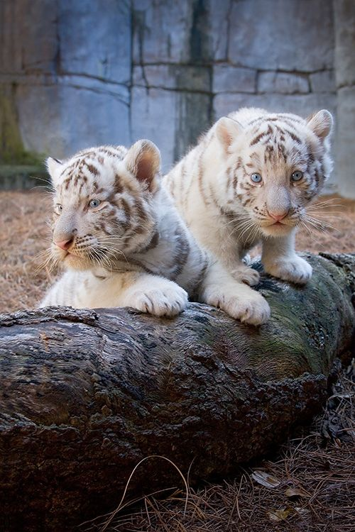 Lowry Park Zoo Welcomes Birth of Two New White Tiger Cubs - ZooBorns
