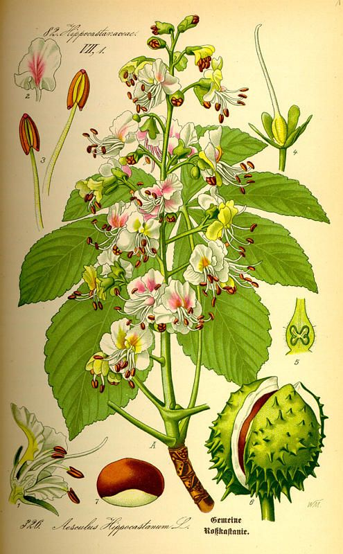 Flora von Deutschland Österreich und der Schweiz (1885) - Aesculus Hippocastanum
