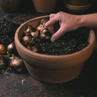 better homes and gardens - forcing bulbs